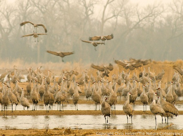 Sandhill cranes roosting on the Platte River in March.