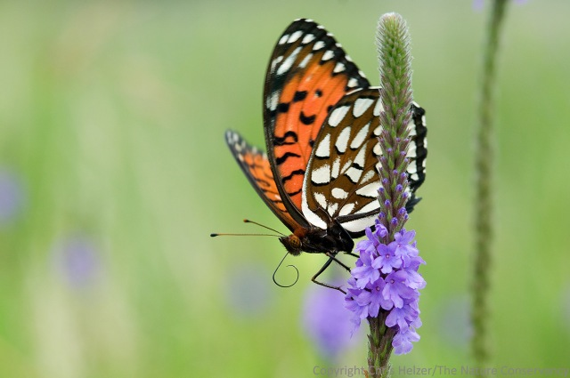 Regal fritillary butterflies are abundant in the Platte River Prairies and are attracted to the diverse floral resources in our restored prairies.