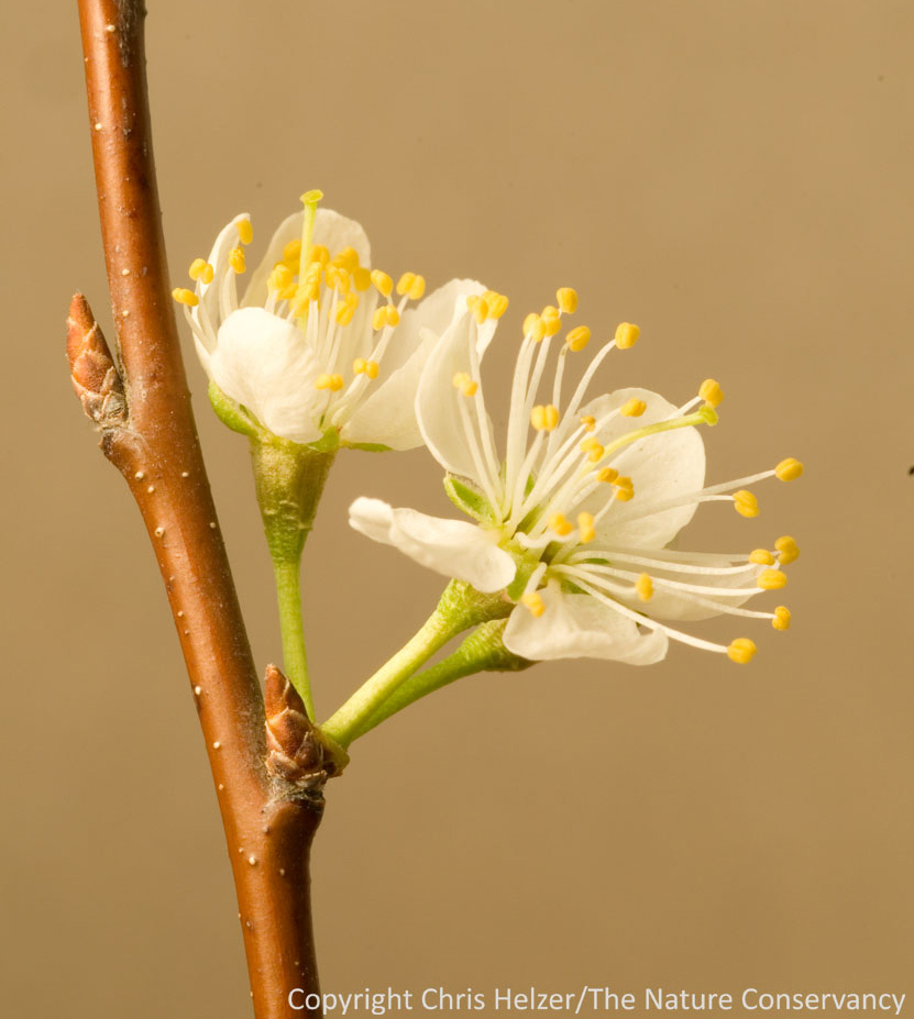 Buds in the spring the prairie ecologist blossoms and buds of a wild plum the flower buds have already opened but the leaf buds are still tightly closed mightylinksfo