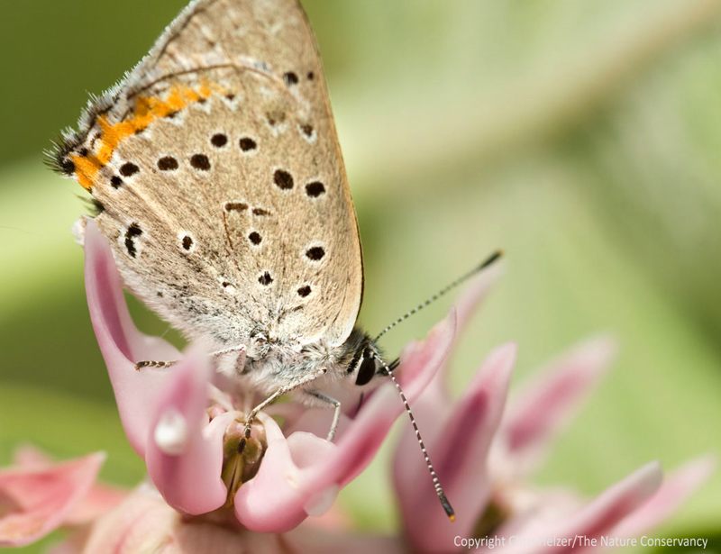 Butterfly Aggression | The Prairie Ecologist