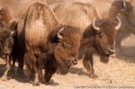 Bison waiting to be sorted.