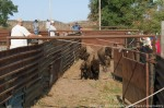 Bison coming down the lane, gate closers at the ready.
