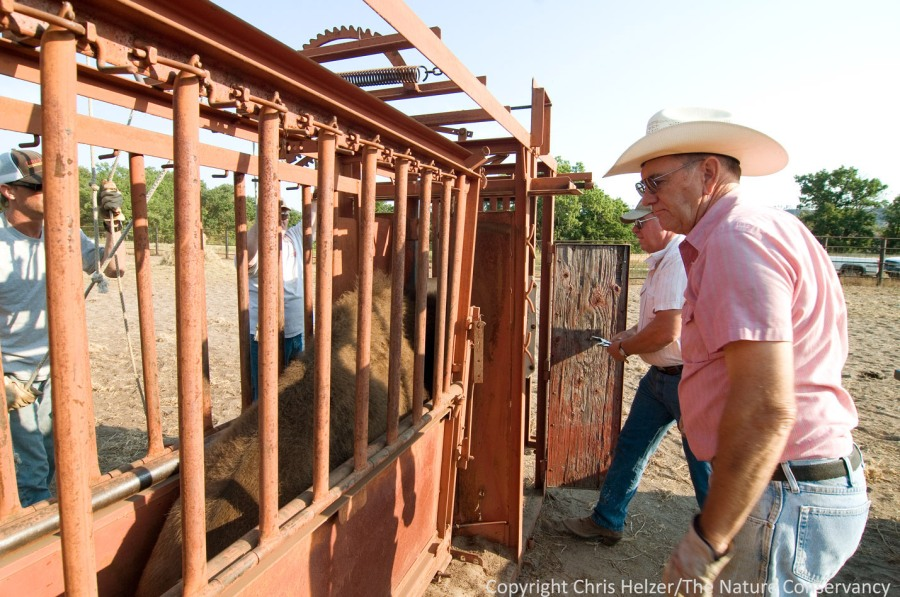 Richard inspects a bison in the squeeze chute while the vet checks its number.
