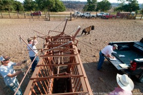 A bison is released from the squeeze chute as the vet records its number.