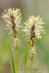 Sun sedge (Carex heliophilus) is one of the first flowers of the spring.