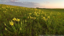 Showy evening primroses in the restored sandhill prairie.