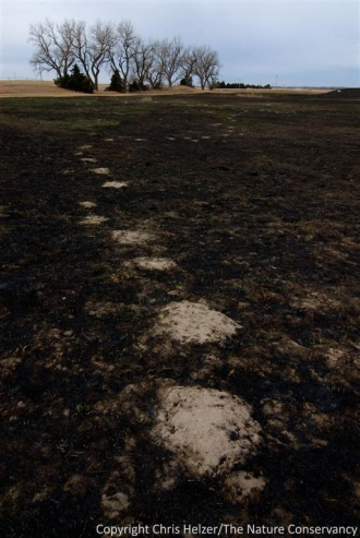 A pocket gopher trail through burned prairie.