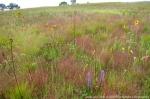 The restored prairie in its fifth growing season.