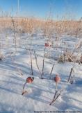 Rose hips in winter prairie.