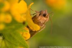 Bilobed looper moth in the spring of 2012.