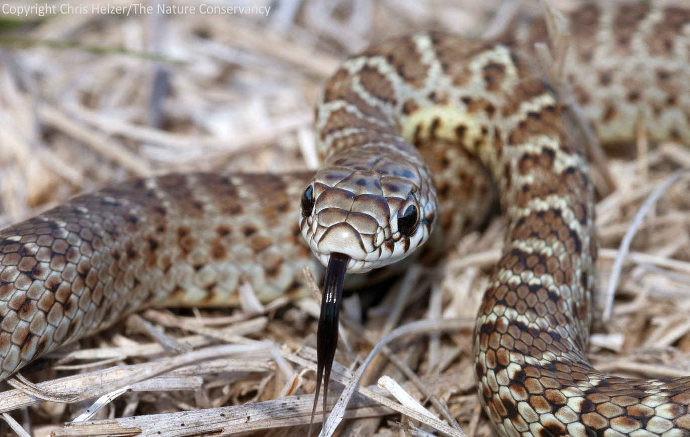 A Juvenile Eastern Racer Coluber Constrictor The Nature Conservancys Platte River Prairies Nebraska As Always You Can Click On Image To See