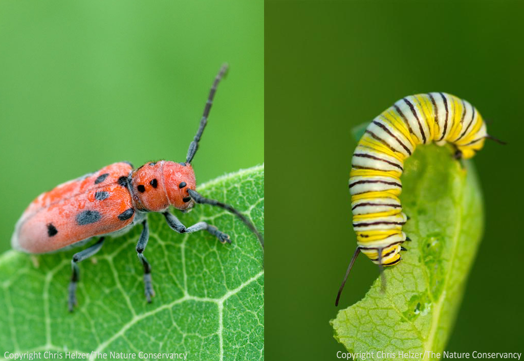 Evolution in Milkweed-Eating Insects  The Prairie Ecologist