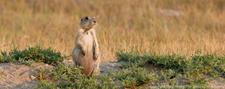 Black-tailed prairie dog.  Niobrara Valley Preserve - Nebraska.