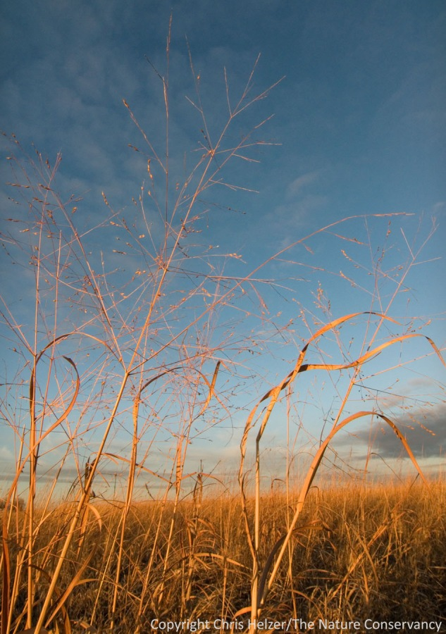 Switchgrass and sky with warm winter light.