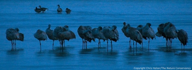 Sandhill cranes in the early morning.