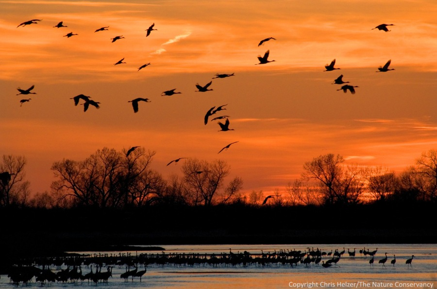 Cranes coming into the roost at sunset.