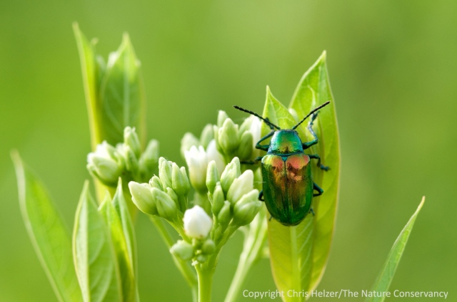 A dogbane beetle on dogbane.  Aurora, Nebraska.