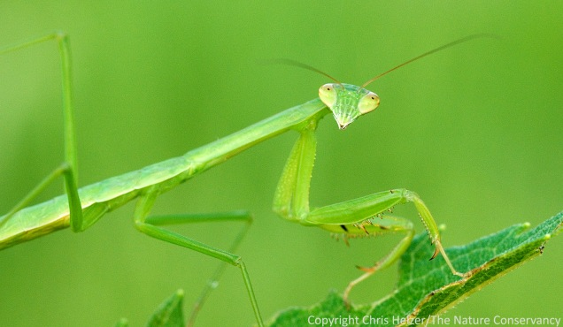 Praying Mantis.