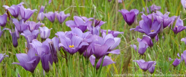 Prairie gentian (Eustoma grandiflorum) along a restored wetland.