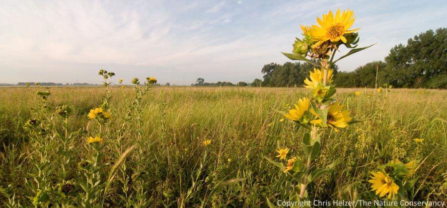 Rosinweed (Silphium integrifolium) in restored prairie along the Platte river.