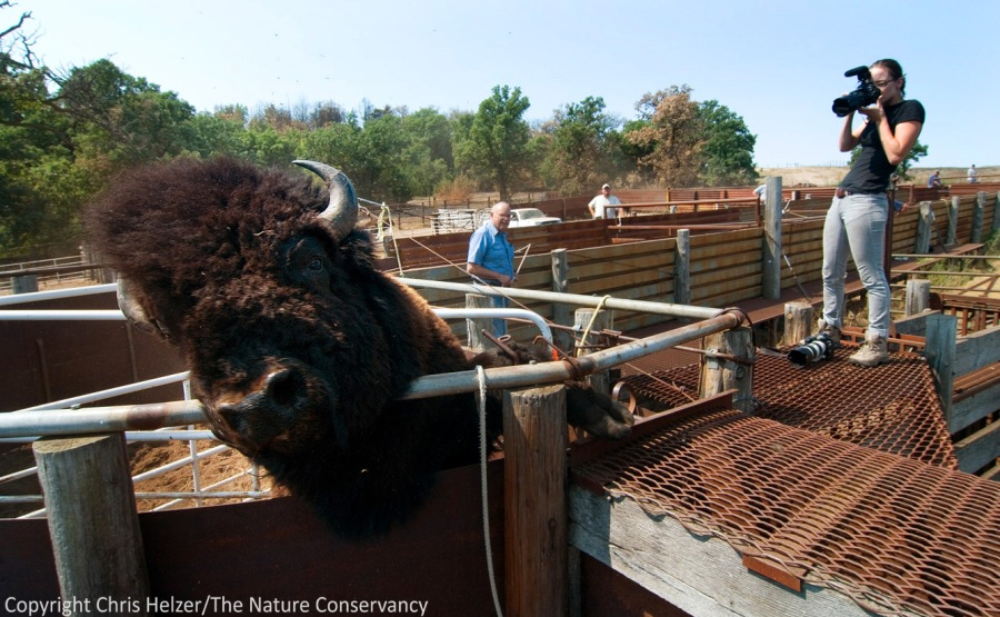 A bison bull tries to jump out of the corral chute during a bison roundup.