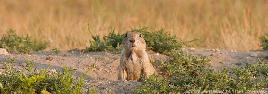 A black-tailed prairie dog in the Nebraska sandhills.