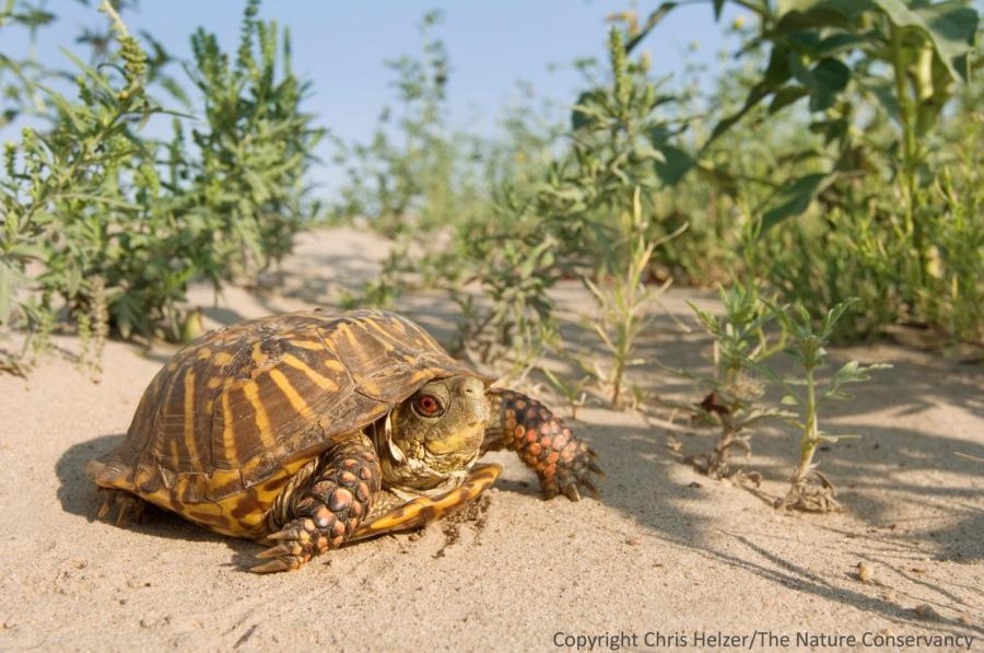 An ornate box turtle in the Nebraska sandhills.