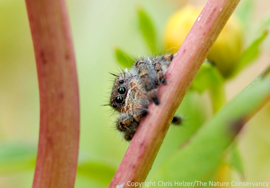 A jumping spider on a beggarstick plant in a restored wetland.