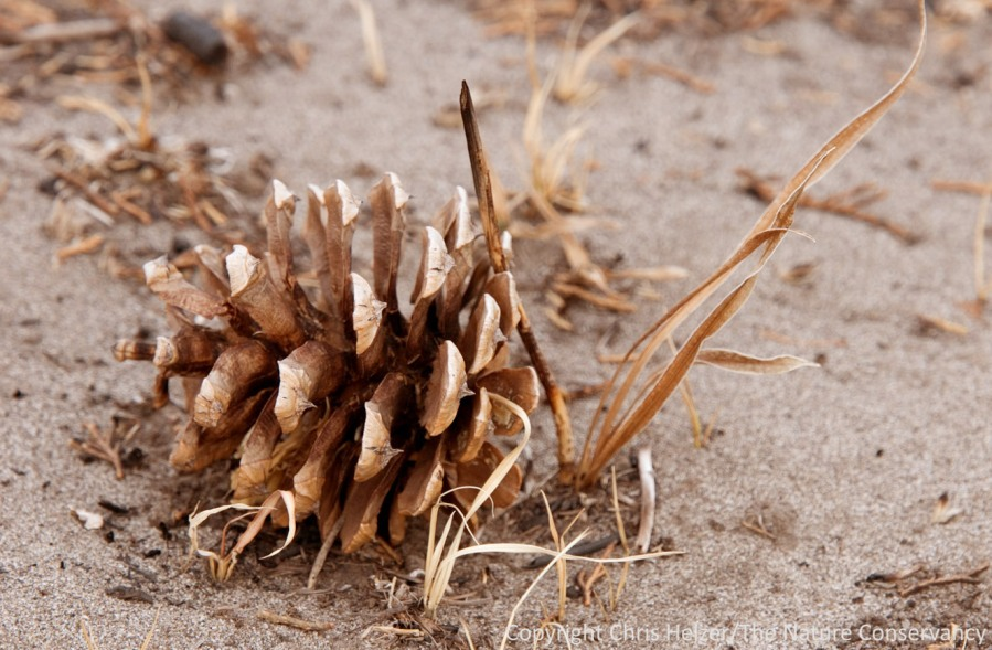 Very few pine cones can be found away from the very top of the ridge.  A few isolated exceptions like this might produce a few trees, but future prescribed fires may not allow many of those to mature.