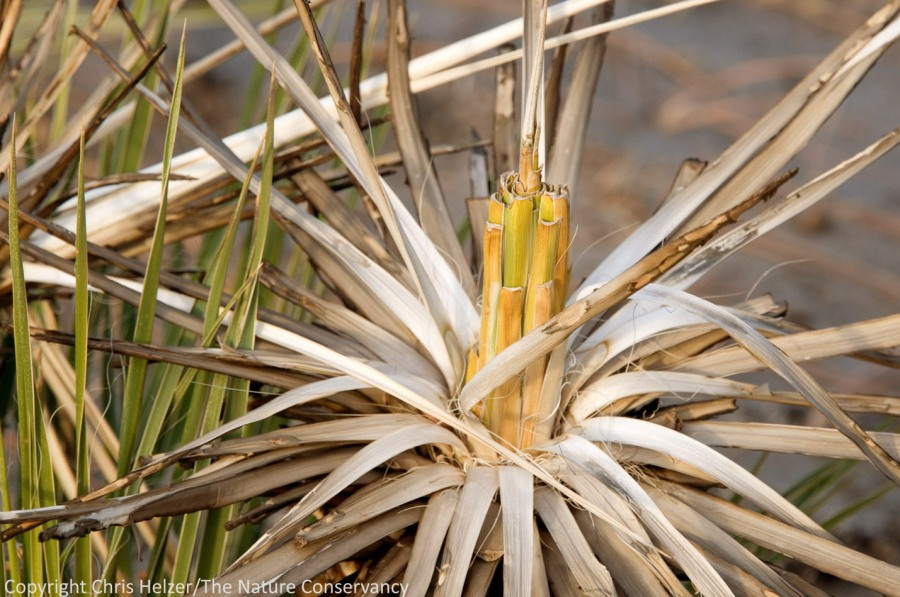 Yucca are starting to regrow across the burned portions of the Preserve.  Many show signs of being eaten - there's not much else green out there!