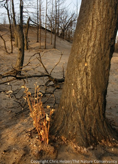 Many of the bur oaks in the burned area are re-sprouting from the base.