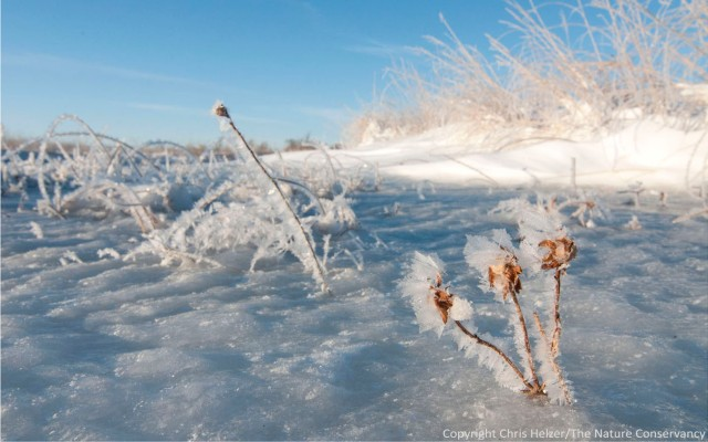 Frost-covered wetland plants stick out from the ice on a frigid but pleasant winter morning.  The Nature Conservancy's Platte River Prairies, Nebraska.