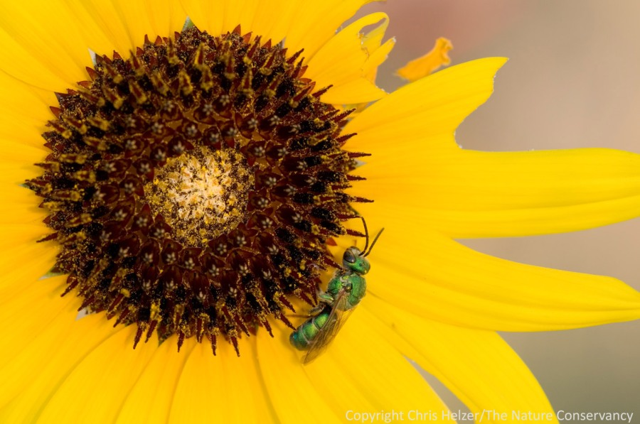 A small native bee gathers food from an annual sunflower (Helianthus annuus).