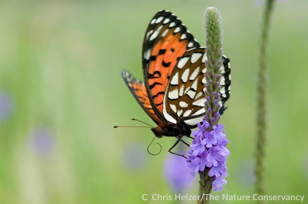 """It was valuable to look at our prairies through the eyes of regal fritillary butterflies.  We gained a greater appreciation for the importance of """"weedy"""" plants such as the hoary vervain shown here.  We also saw how well our restored prairies complement our remnants."""