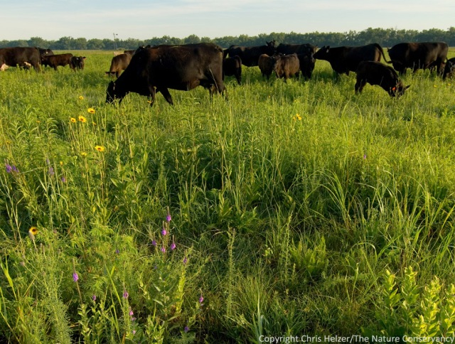 Patch-burn grazing helps us maintain diverse plant communities while also creating patchy habitat that benefits many insect and animal species as well.
