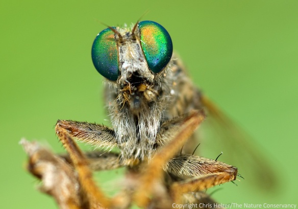 Photography can provide intimate introductions to species most people wouldn't otherwise know exist.  Robber fly - Central Platte River, Nebraska.