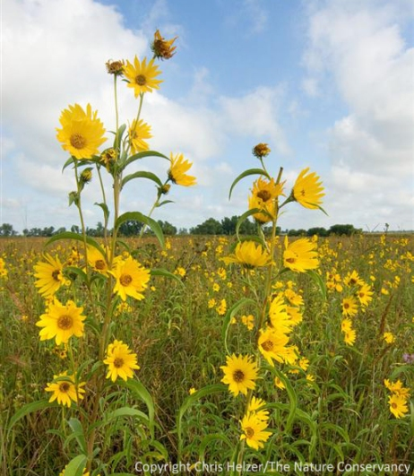 Maximilian sunflower is one of the species we've found easiest to establish in degraded prairies.