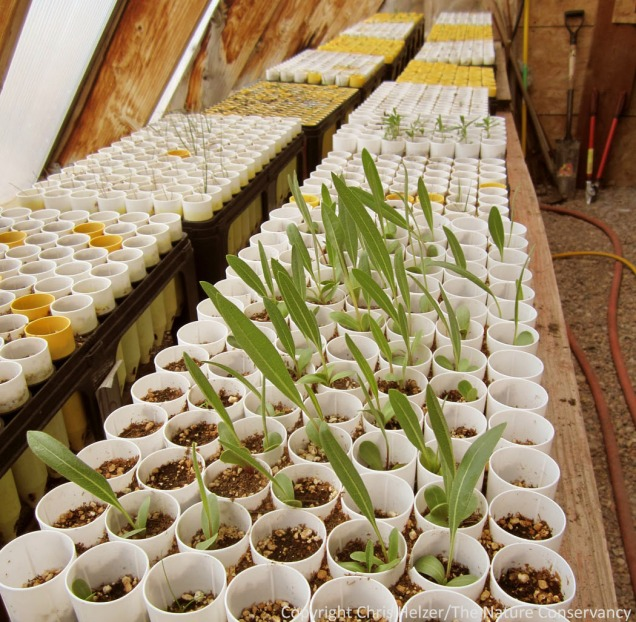 Compass plant seedlings and others in our greenhouse.