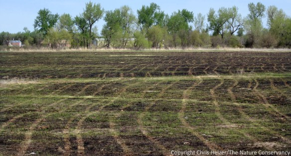 Trails from our ATV and broadcast seeder in recently burned prairie.  Broadcasting after a burn helps get the seed/soil contact we need.  Experiments with light harrowing as a way to get evern more soil contact haven't provided any measurable benefits.