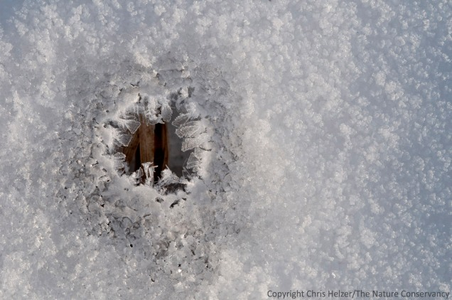 Hoarfrost on the edge of a hole in the snow, with prairie grass beneath.