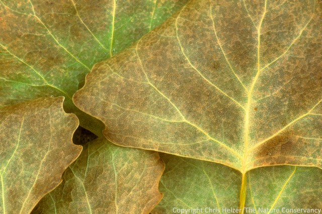 Cottonwood leaves at The Nature Conservancy's Niobrara Valley Preserve, Nebraska.