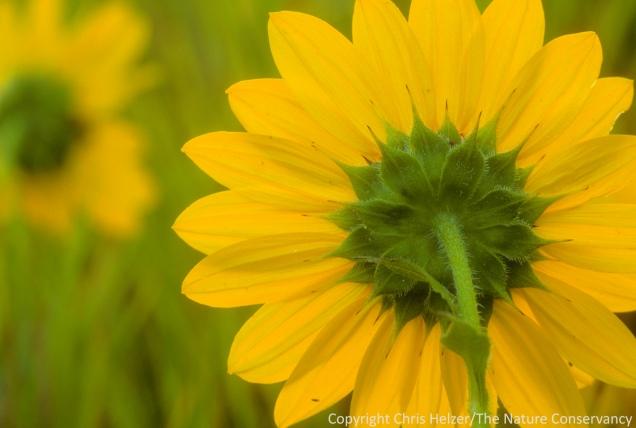 Annual sunflowers along Dead Man's Run in Lincoln, Nebraska.