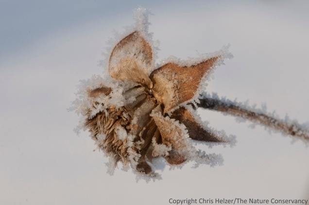 A frosty rosinweed seedhead in winter prairie.