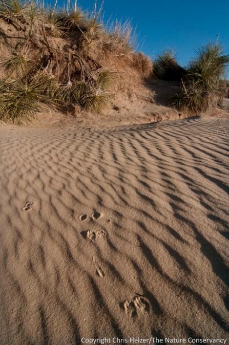Small mammal tracks across rippled sand in a sandhills blowout.  Switzer Ranch, Nebraska.