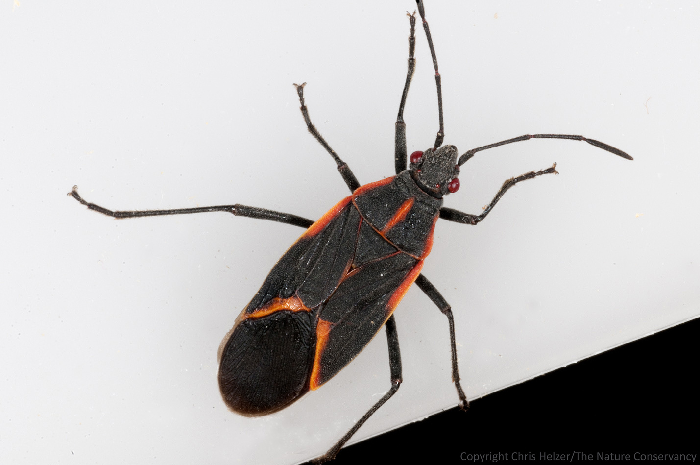 Thank goodness for boxelder bugs the prairie ecologist the other boxelder bug less dusty that i found in my kitchen buycottarizona