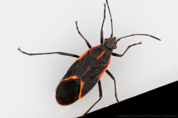 The other boxelder bug - less dusty - that I found in my kitchen.