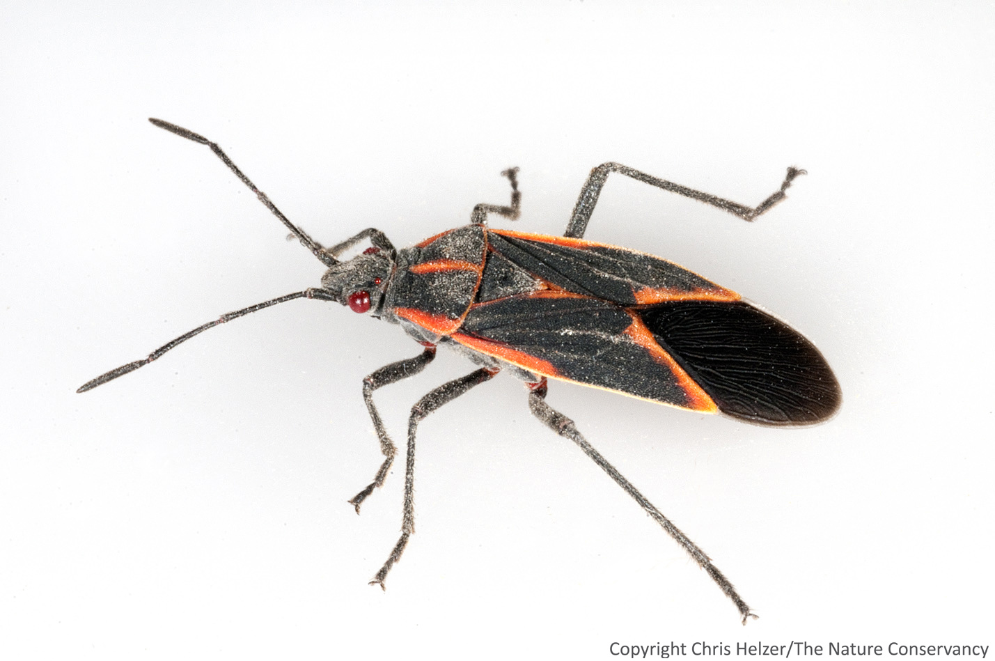Boxelder bug   photographed in my kitchen. Thank Goodness For Boxelder Bugs   The Prairie Ecologist