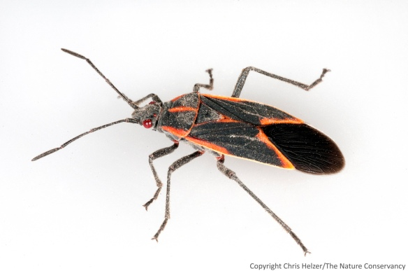 Boxelder bug - photographed in my kitchen.