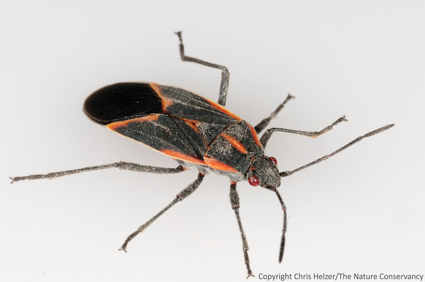 Thank goodness for boxelder bugs the prairie ecologist last shot buycottarizona