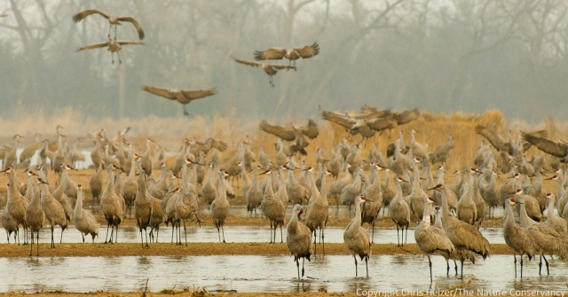 Sandhill cranes roosting on the Platte River, just north of The Nature Conservancy's Studnicka tract.  2007 photo.